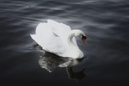 swan-sw.jpg